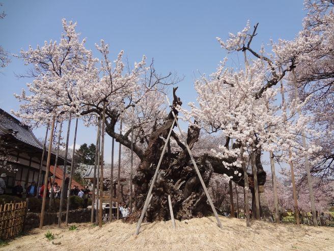 06 jindaizakura.jpg