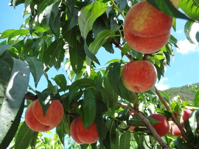 120819105 fruit line.jpg